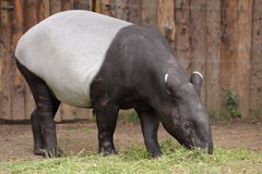Asian tapir. The eating asian tapir (Tapirus indicus royalty free stock photos