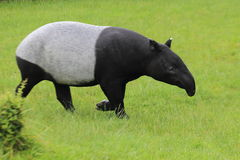 Asian tapir. The adult asian tapir strolling on the grass royalty free stock images