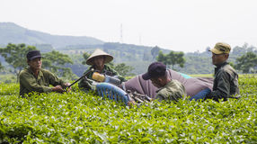 Asian tea farmers harvesting tea leaves Royalty Free Stock Photo