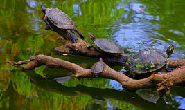 Asian terrapin turtles in green pond Royalty Free Stock Photos