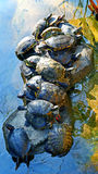 Asian terrapin turtles Royalty Free Stock Images