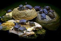 Asian terrapin turtles Royalty Free Stock Photo