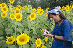 Asian thai woman use camera shooting photo sunflower flower field royalty free stock image