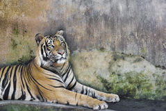 Asian tiger Royalty Free Stock Images