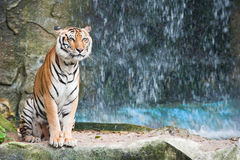 Asian tiger Stock Photography