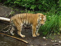 Asian Tiger. Large male Asian tiger beside a stream near China\'s Changbaishan Nature Preserve Stock Photo