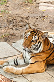 Asian tiger. In zoo of thailand Stock Photos