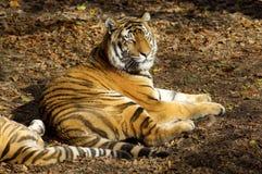 Asian tiger Stock Photo