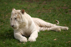 Asian tiger Stock Image