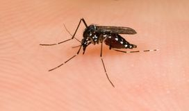 Asian Tiger Mosquito Stock Photos