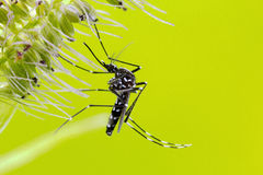 Asian Tiger Mosquito (Aedes albopictus) Royalty Free Stock Image