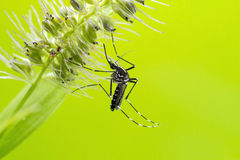 Asian Tiger Mosquito (Aedes albopictus). This mosquito has become a significant pest in many countries. It lives and thrives with humans, and can be a carrier of Royalty Free Stock Image