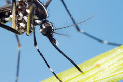 Asian Tiger Mosquito (Aedes albopictus). This mosquito has become a significant pest in many countries. It lives and thrives with humans, and can be a carrier of Stock Photography