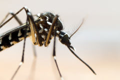 Asian Tiger Mosquito (Aedes albopictus) Stock Photography