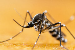 Asian Tiger Mosquito (Aedes albopictus). This mosquito has become a significant pest in many countries. It lives and thrives with humans, and can be a carrier of Royalty Free Stock Photos