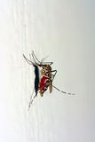 Asian tiger mosquito full of blood Royalty Free Stock Photo