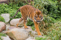 Asian Tiger Royalty Free Stock Photos