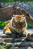 Asian Tiger. Nice portrait of an Asian Tiger Royalty Free Stock Images