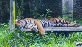 Asian tiger. Royalty Free Stock Photography