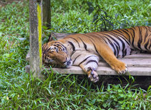 Asian tiger. Stock Photography