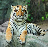 Asian tiger on rock Royalty Free Stock Photography