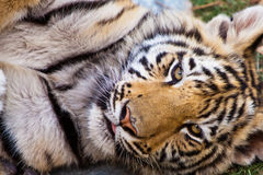 Asian tiger seen in close up Royalty Free Stock Photos