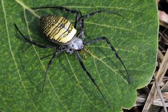 Asian Tiger spider Stock Photo