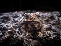 Asian Toad Common toad bufo bufo, front close up shot. Asian Toad or Common toad bufo bufo, front close up shot with dark nature background stock photos