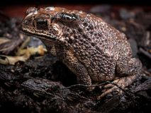Asian Toad Common toad bufo bufo, front close up side shot. Asian Toad or Common toad bufo bufo, side close up shot with dark nature background royalty free stock photo