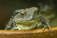 Asian Toad Stock Photos
