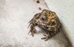 Asian toad Stock Photo