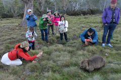 Asian tourist photographing a wombat in Tasmania Australia. Asian tourist photographing a wombat at Cradle Mountain-Lake St Clair National Park Tasmania stock photos