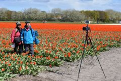 Asian tourist in a tulip field with red tulips taking a picture. Asian turists in a red tulip field in full bloom in the dutch countryside near Keukenhof in royalty free stock images