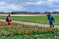 Asian tourist in a tulip field with red tulips taking a picture. Asian turists in a red tulip field in full bloom in the dutch countryside near Keukenhof in royalty free stock photo