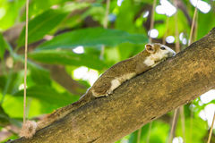 Asian tree squirrel Stock Images