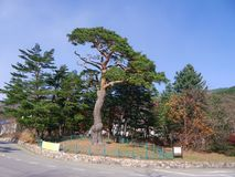 Asian tree in the street Royalty Free Stock Photos
