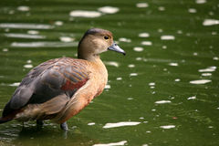 Asian treeduck royalty free stock image