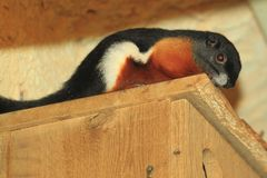 Asian tri-colored squirrel. On the wooden box Royalty Free Stock Images