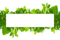 Asian tropical green leaves that isolated on a white background stock photos