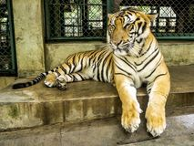 An asian Tropical Orange Striped. Tiger Paw in Tiger Temple Thailand North Chang Mai stock image