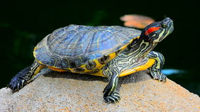 Asian terrapin turtle