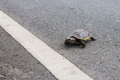 Asian turtle moving across the road Stock Photos