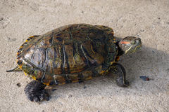 Asian turtle walking on the ground Royalty Free Stock Photo