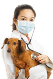 Asian veterinarian with dachshund dog Royalty Free Stock Images
