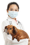 Asian veterinarian with dachshund dog Royalty Free Stock Photography