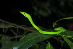Asian vine snake Ahaetulla Prasina on tree branch during the night. Oriental vine snake Ahaetulla prasina is a specie of snake in the family of Colubridae that Stock Image