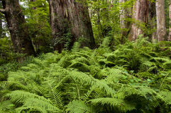 Asian walking-fern -  Asplenium ruprechtii in the woods Stock Photography