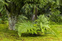 Asian walking-fern -  Asplenium ruprechtii in the woods Stock Images