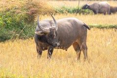 Asian Water Buffalo. Asian Water Buffalo in his habitat, near Mekong river, Cambodia Royalty Free Stock Photos
