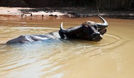 Asian Water Buffalo. In his habitat, near Mekong river, Cambodia Stock Photos